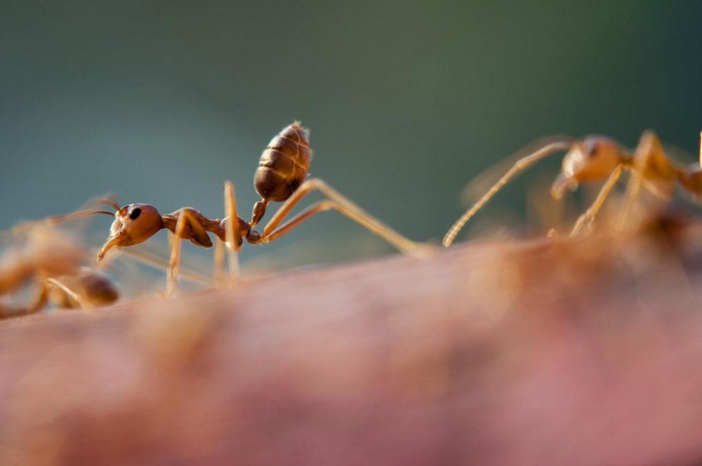 Las hormigas trabajadoras pueden encoger su cerebro y luego volver a crecer cuando sea necesario