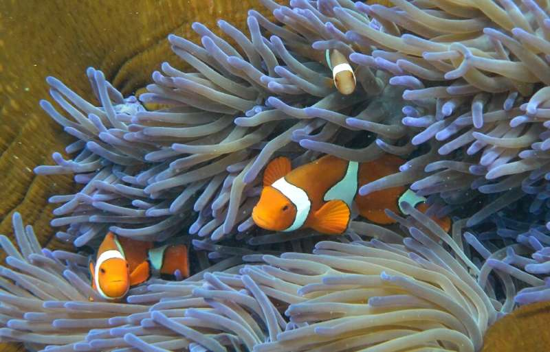 El uso de tecnología experimental y la introducción de corales tolerantes al calor podrían ayudar a retrasar la degradación de la Gran Barrera de Coral hasta en un 20.