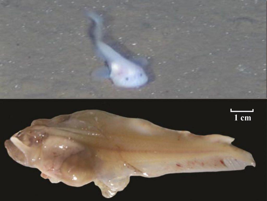 Un nuevo genoma de los peces caracoles revela cómo se han adaptado a las presiones de la vida en las profundidades marinas