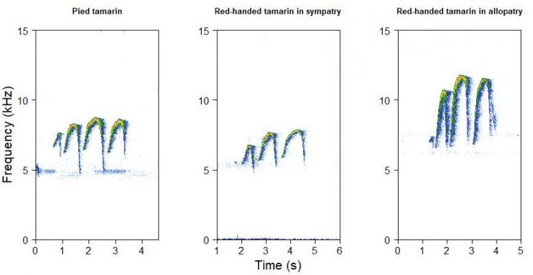 Gráficos espectrales que muestran llamadas de tamarin in fraganti y llamadas de tamarin a tamarin