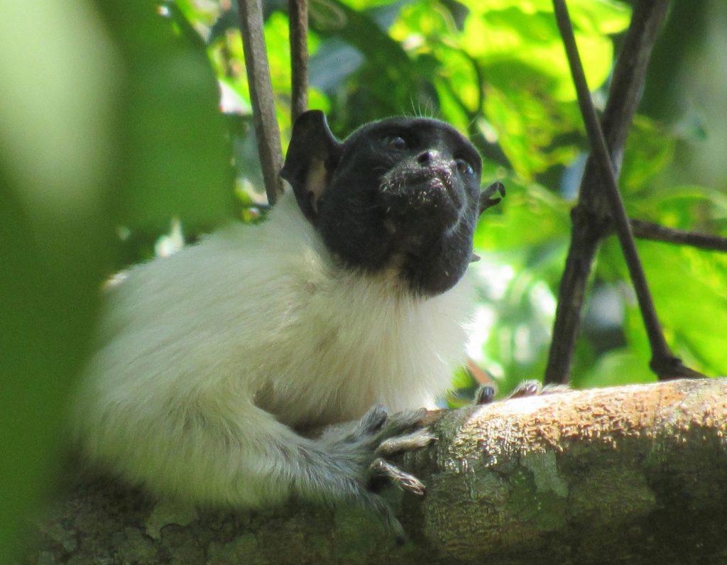 """Los primates cambian su """"tono"""" en las tierras comunes para evitar conflictos"""