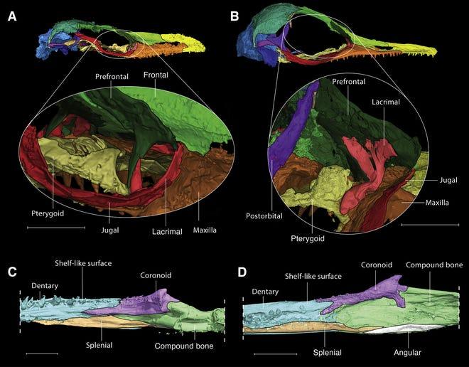 Una comparación de los cráneos de Oculudentavis naga (A) y Oculudentavis khaungraae (B) de un estudio de principios de 2020. Aunque no son exactamente iguales, ambos son lagartos.