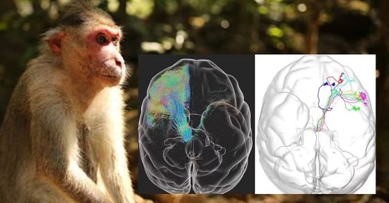 La primera imagen en 3D del mundo del cerebro de un mono