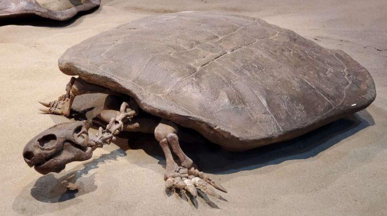En un huevo de tortuga fosilizado, los investigadores de la Universidad de Wuhan (China) pudieron identificar una tortuga terrestre gigante conocida como Yuchelys nanhsiungchelyids.  Aquí se encontró un espécimen fosilizado en Canadá.  © Museo Royal Tyrrell