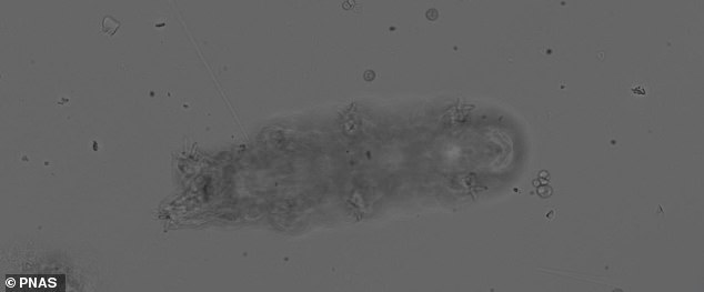 Los investigadores registraron que los tardígrados caminan por diferentes superficies para analizar su marcha y la coordinación de las piernas.