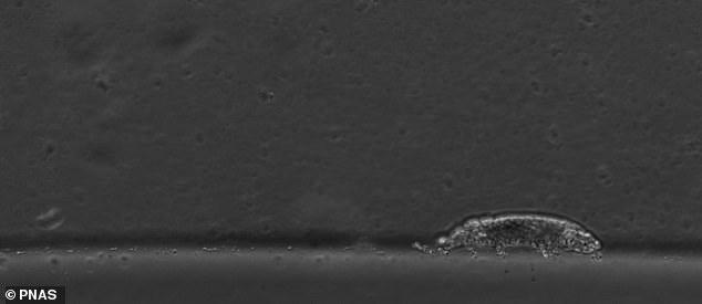 Ahora los científicos lo han capturado con una cámara microscópica para ver exactamente cómo camina.