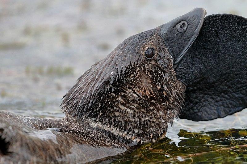 Este pato australiano dice 'Maldito idiota' y puede imitar otros sonidos, y los científicos no podrían ser más encantadores