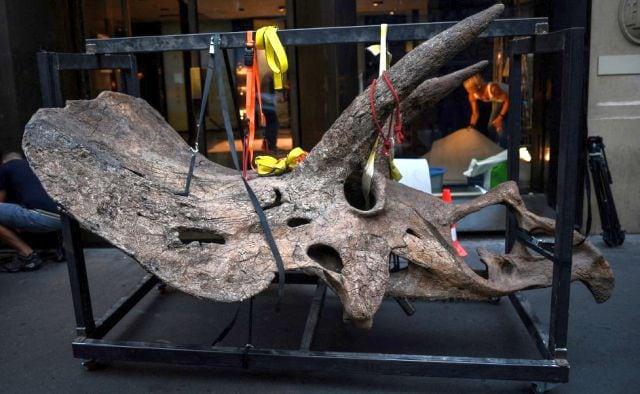 Big John vagó por las tierras de la actual Dakota del Sur en los Estados Unidos hace más de 66 millones de años.  Los paleontólogos descubrieron la primera pieza de hueso en 2014 y finalmente encontraron el 60 por ciento de su esqueleto, incluido su cráneo casi completo.  Agencia de prensa de Francia