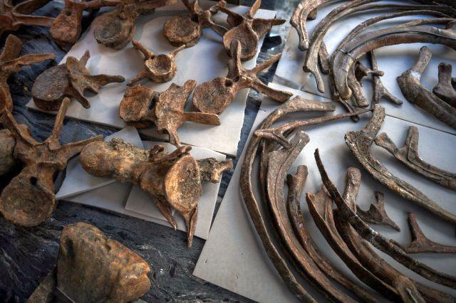 Big John soporta las heridas de su dura vida, con un desgarro en el cuello de un altercado con un Triceratops más pequeño, que según los subastadores se debió a la defensa territorial o al cortejo de pareja.  Agencia de prensa de Francia