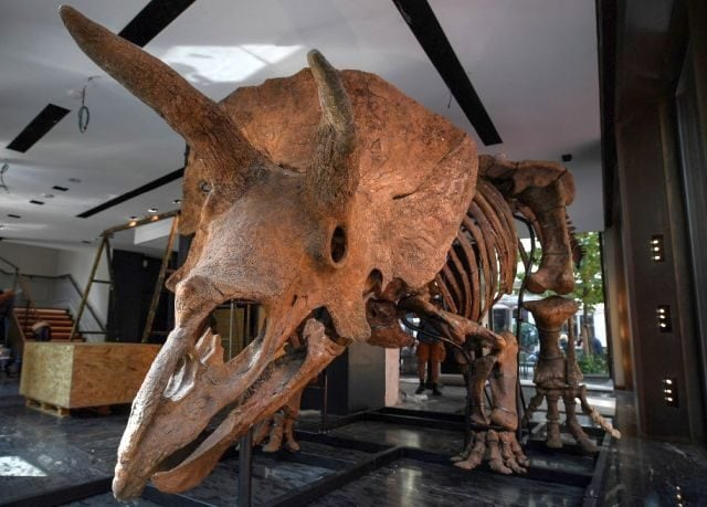 The skeleton of a 66-million-year-old giant Triceratops fossil could soon belong to a lucky dinosaur enthusiast -- that is, if they have an estimated 1.2 million euros ($1.4 million) to spare. Big John, as the dinosaur has been named has gone on display in Paris before it iss auctioned on 21 October. AFP